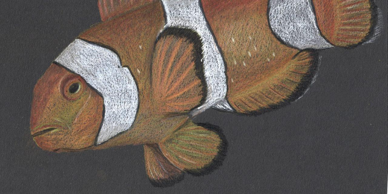 Anemonenfisch/ Clownfish
