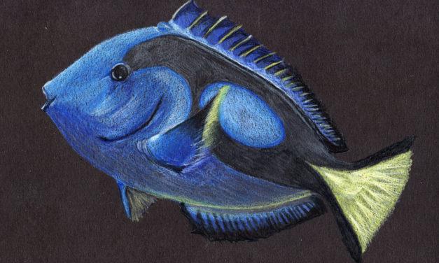 Paletten-Doktorfisch/ Paracanthurus Hepatus