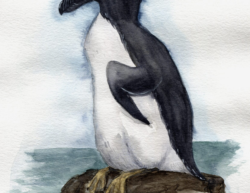 Aquarell: Riesenalk/ Watercolor Painting: Great Auk