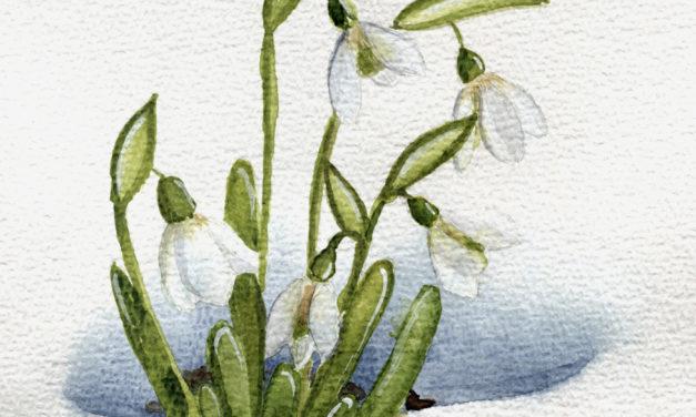 Schneeglöckchen/ Snowdrop
