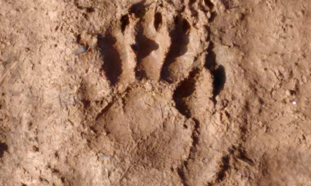 Auf den Spuren der Waschbären/ Following the Racoon's Trails